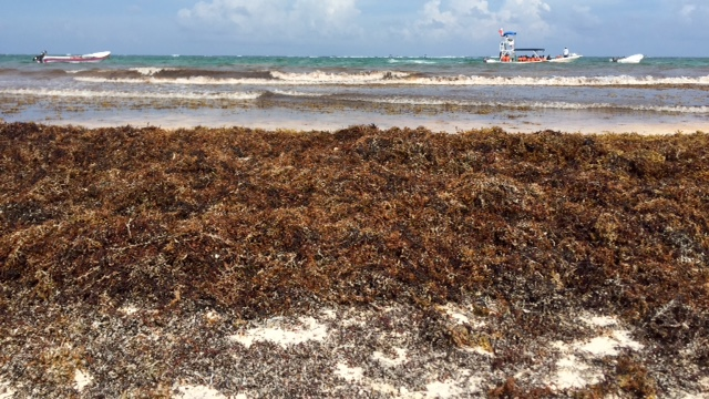 seaweed piled along the shore in tulum, mexico, where sargassum myths keep tourists from visiting