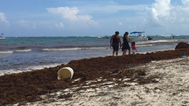 a family walks by a mound of sargassum in the caribbean on a beach and the seaweed is loaded with plastic trash