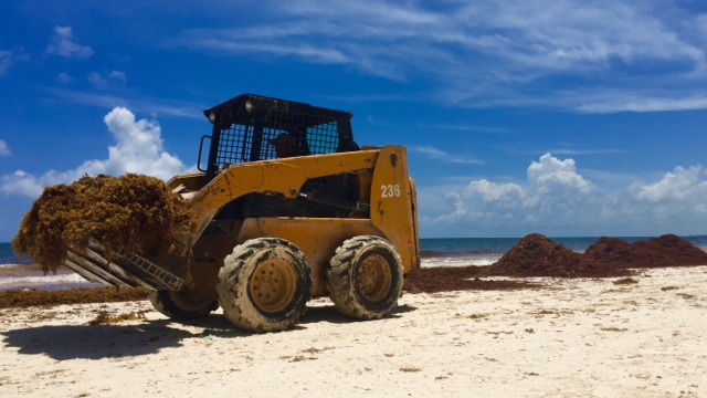 a bulldozer clears the beach in tulum, mexico of a lot of sargassum
