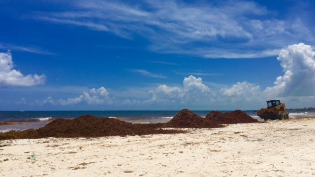 sargassum in the caribbean is a problem that leaves giant mounds of seaweed like these on the beach, for as far as the eye can see.
