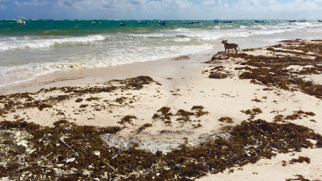 a dog looks out at sea around plastic trash bits stuck in sargassum