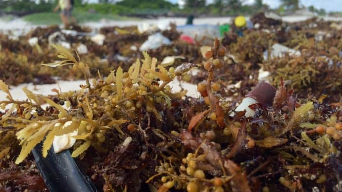 close up of sargassum with a nail polish remover bottle stuck inside