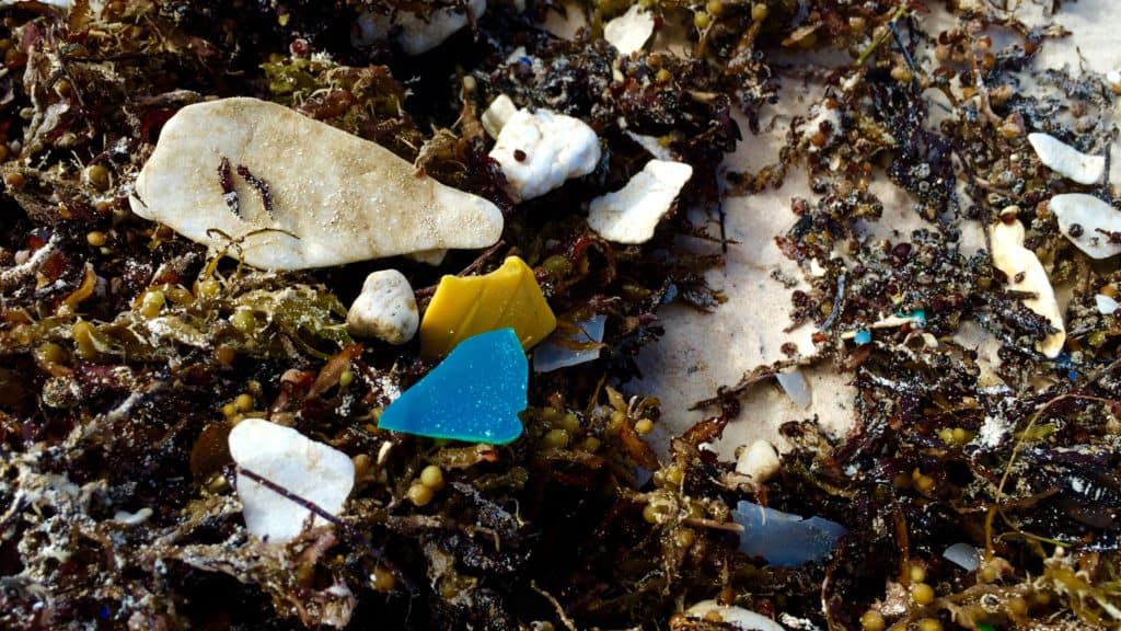tiny bits of broken down plastic in sargassum