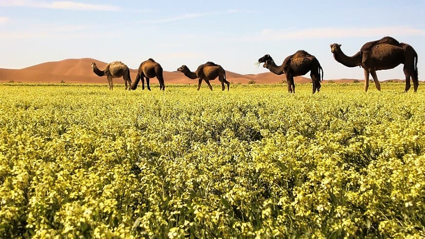 Camels rock