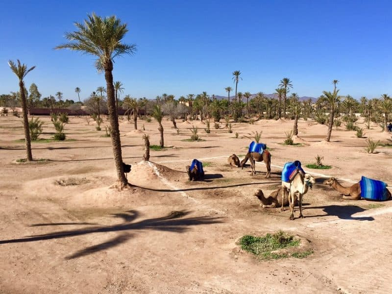 camels in an oasis as seen from a bus tour - one of the best budget things to do in marrakesh