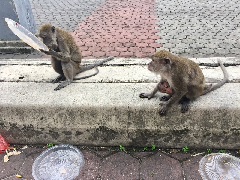 one monkey licks a plate from a trash bin, and another adult monkey carries a baby as she looks for food at the batu caves