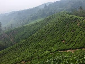 An endless view of tea trees at a tea plantation. The field is green, the air is misty from the high elevation.