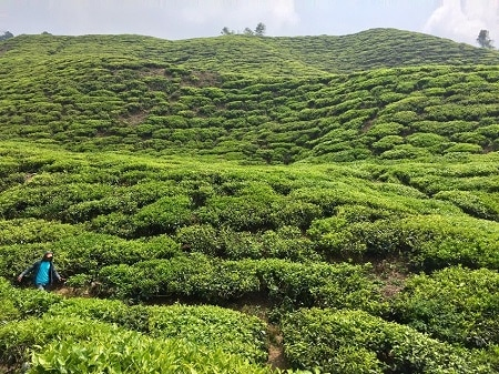 Cameron Highlands: perfect weather, scenery, prices