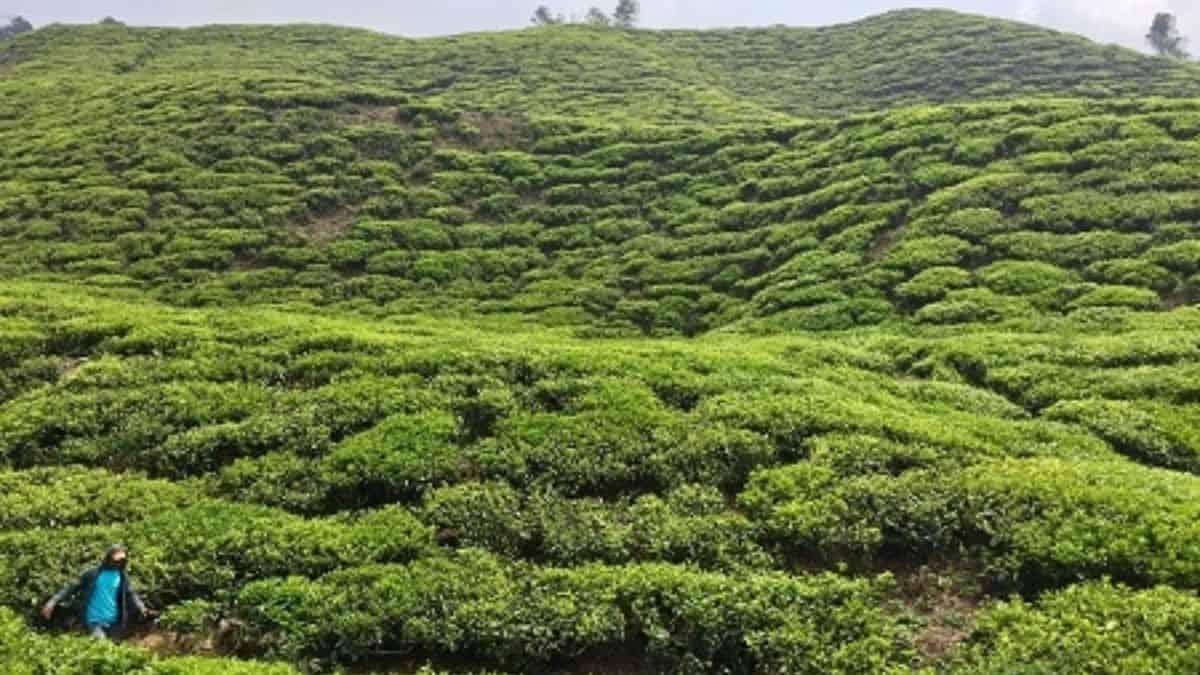 tea plantation worker against a green hillside in the cameron highlands