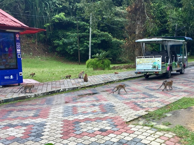 several monkeys cross the road at the entrance to the Penang Botanical Garden.
