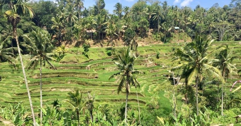 rice fields are one of the sites near Ubud worth a visit