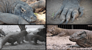Exact details on cheap Komodo dragon tour boat