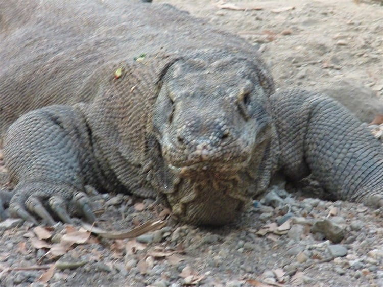 komodo dragon from rinca island, indonesia
