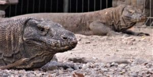 Astonishing Komodo dragon 2-day trip on a budget