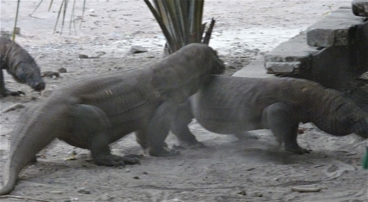 two dragons fight on komodo island