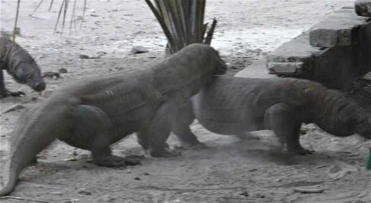 Komodo dragons start to fight on sand near steps to a bar on Komodo Island, Indonesia.