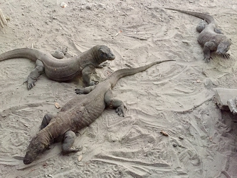 three komodo dragons sit in the sand on komodo island in indonesia