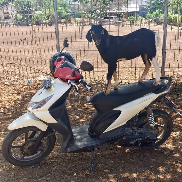 goat on a bike in Labuan Bajo