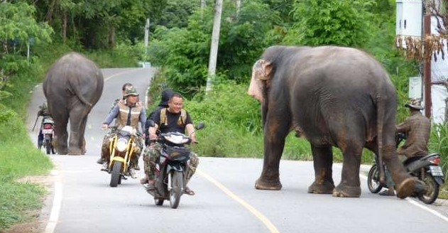 Thailand elephant sightings on the road are frequent in northern Thailand.