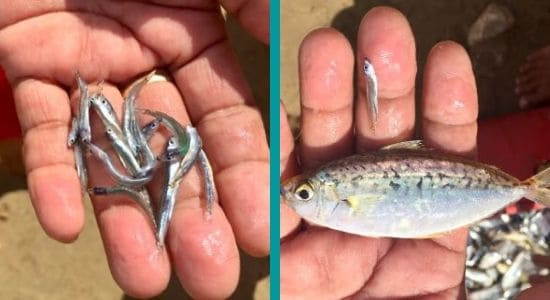 how to catch fish  -- small delish fish on the left, one big one on the right