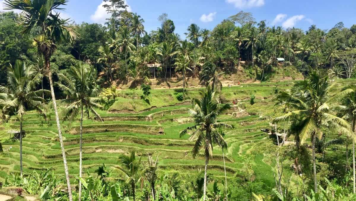 a rice terrace near near Ubud, Bali, Indonesia