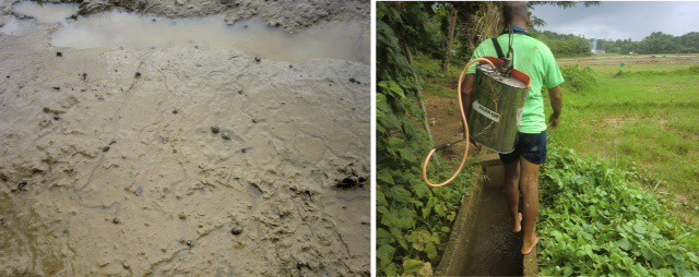 left, snails in mud; right, Juli sprays pesticide in the rice field