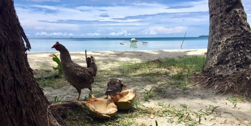 A hen and her chicks peck at a fallen coconut that split open on Jawili Beach.