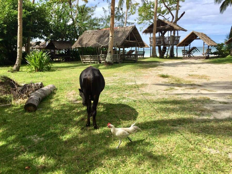 A bull and a chicken in the foreground of a Jawili Beach shot, with shaded picnic tables on the white sand.