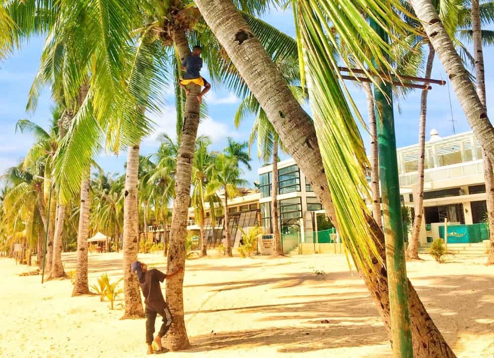 One kid at the top of a coconut tree trying to free the fruit, while another kid waits at the bottom of the tree to pick up the free food.