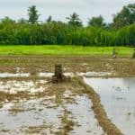 A man works a rice field with carabao in Malay, Aklan, Philippines.
